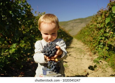 Little smiling boy holding bunch of black grapes in hands in vineyard of Alazani valley, Georgia