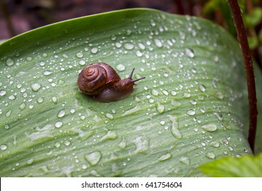 Little snail with brown shell on a large green leaf around a lot of water drops after summer rain