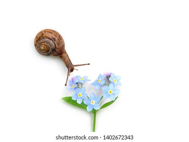 little snail and for forget-me-not flower on white background. beautiful scene of nature life, purity of nature, care about world. concept of ecology, Animal. close up. Top view, copy space
