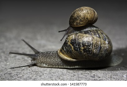 little snail is riding on the back of big mother snail. The big snail is taking care about the little one.