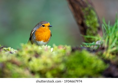 Little songbird named European robin with nice foreground and backround. A robin bird has a red breast.