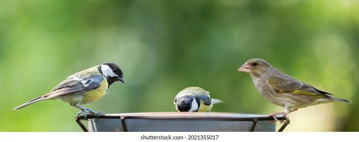 Little songbirds sitting on a bird feeder. Great Tit (Parus major) and european greenfinch (Chloris chloris). Summer time