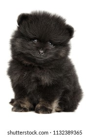 Little Spitz puppy Portrait on white background. Baby animal theme