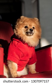 Little Spitz is sitting on a red chair in a red sweater.