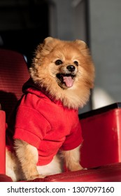 Little Spitz is sitting on a red armchair in a red sweater with an open mouth and a protruding tongue.