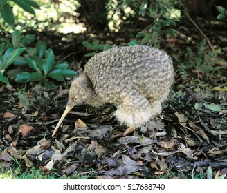 Little spotted Kiwi.