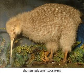 Little Spotted kiwi, Apteryx oweni, New Zealand