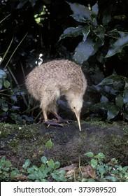 Little spotted kiwi, north island New Zealand
