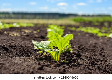 Little sprout, the escape of sugar beet plantations in the field, agriculture.