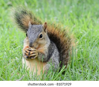 Little squirrel eating peanut, seen from the front