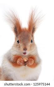 little squirrel eats hazelnut on a white background