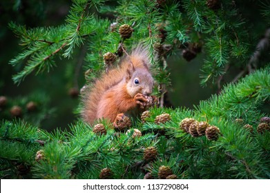 The little squirrel feasting high up in a tree