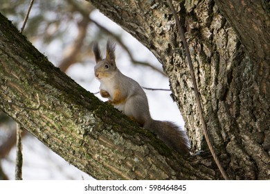 A little squirrel with long furry ears sitting on a tree
