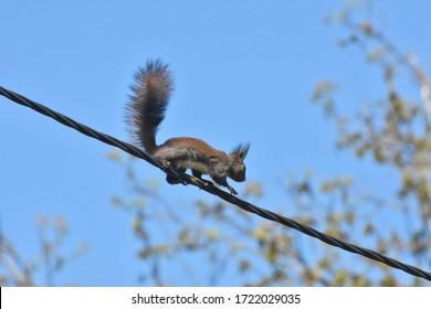 Little squirrel on a wire. European dark squirrel running on the electrical wire