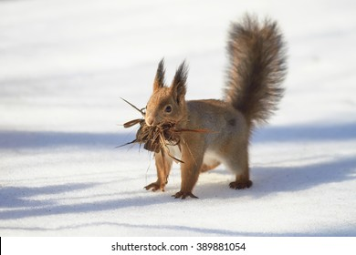 little squirrel running around in the snow with a bark for the nest