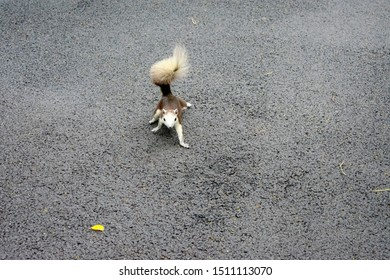 Little squirrel walking or running come to me, dark brown and grey animal with furry tail on texture cement at park, view cute pet with space