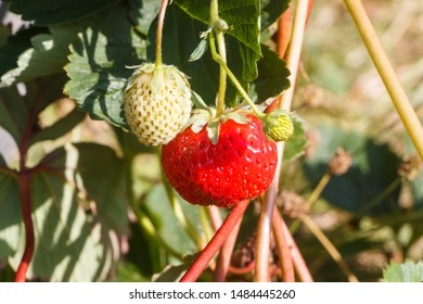 Little strawberry ripening in a vegetable garden during summer