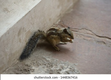 little striped cowardly Chipmunk runs finds food and quickly eats it