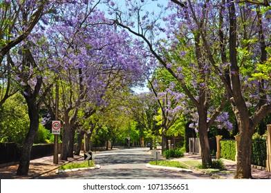 Little suburban street full of green trees and blooming jacaranda. Adelaide, Australia