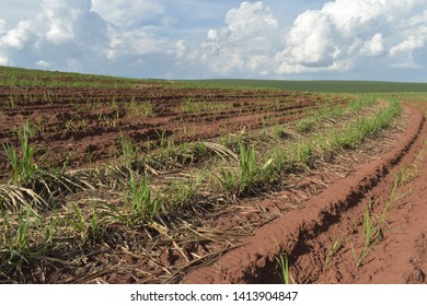 A little sugar cane using a technique called meiosis. growing cane in the field. land for sugar cane production