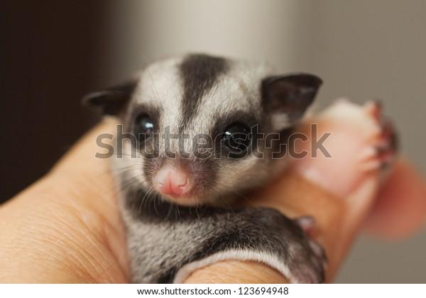 little sugar glider on woman hand