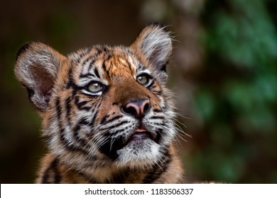Little sumatran tiger