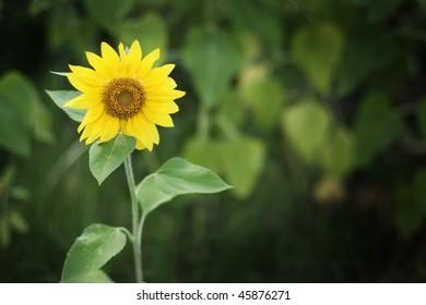 little sunflower on a green background