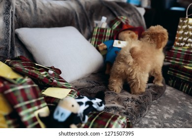 Little sweet puppy with red curly fur standing on a couch, many gifts for the christmas holidays lying around. Magic atmosphere of the New Year and winter holidays. Lovely dog maltipoo gives his love.