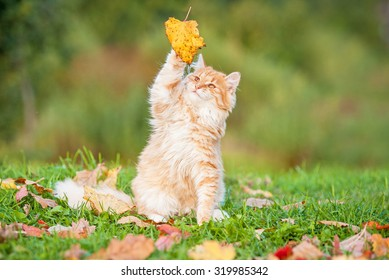 Little tabby cat catching falling leaves in autumn