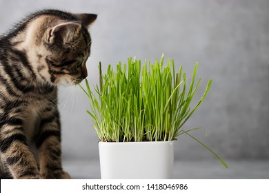 Little tabby color kitten and green grass of wheat on gray background. Scottish.  Soft focus.