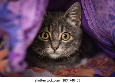 Little tabby kitten under the blanket