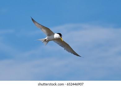 The little tern flew freely in the blue sky surrounded by white clouds.