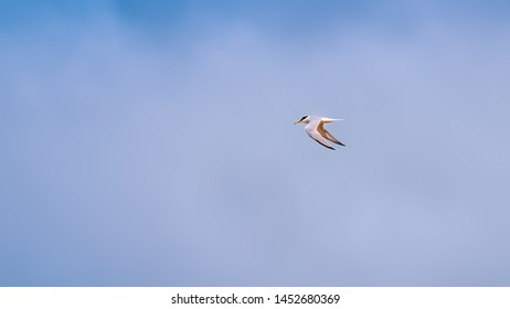 Little tern flying in a cloudy sky showing his wings and plumage