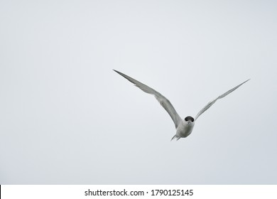 The little tern (Sternula albifrons) is a seabird of the family Laridae. It was formerly placed into the genus Sterna, which now is restricted to the large white terns,fly and freedom in Thailand.