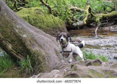 A little terrier dog by the stream at Golitha Falls in Cornwall