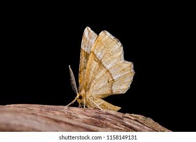 Little Thorn moth ( Cepphis advenaria ). Sitting on tree bark.