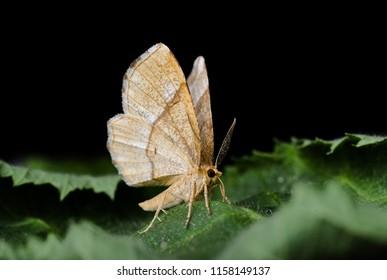 Little Thorn moth ( Cepphis advenaria ). Sitting on leaves.