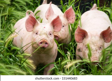 Little three pigs on the field in summer