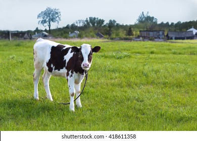 a little tied calf grazing in the pasture. horizontal with copy space