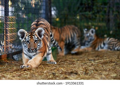 Little tiger cubs playing. young Tiger