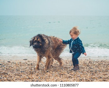 A little toddler boy is on the beach playing with a giant Leonberger dog