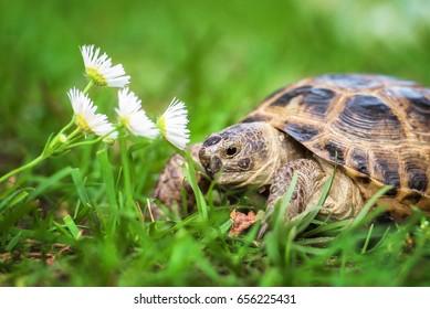 Little tortoise smelling a flower