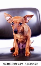Little toy terrier sitting on chair, studio shot