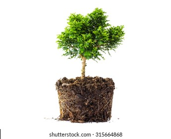 little Tree in the pots isolated on white background, with roots