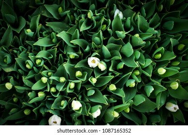 little tulips on the green background in spring