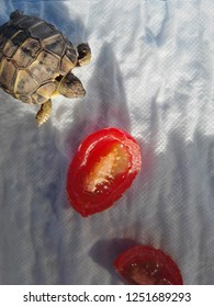 Little Turtle near tomato, wolking on white background.