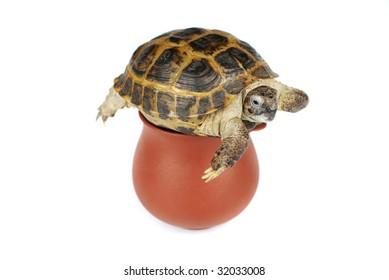 little turtle on a pot