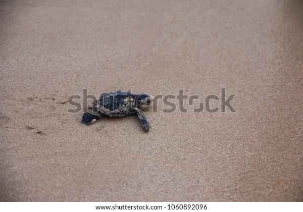 Little turtles runs to the sea