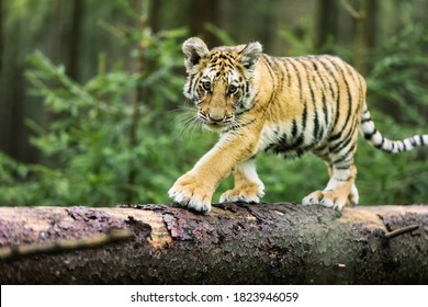 Little Ussuri tiger in the wild forest (Panthera tigris tigris) also called Amur tiger (Panthera tigris altaica) in the forest, Young female tiger in the forest.