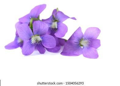 A little violet spring odorata in springtime